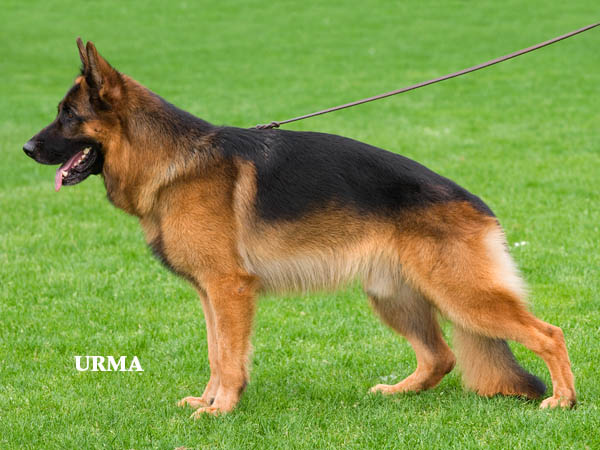 german-shepherd-dog1