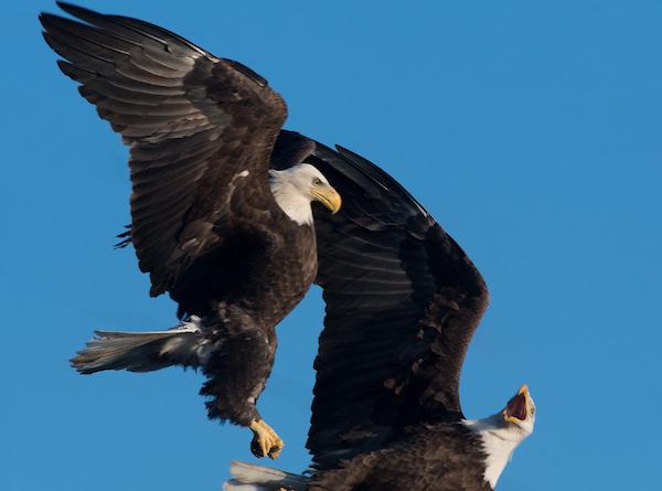 eagles_copy
